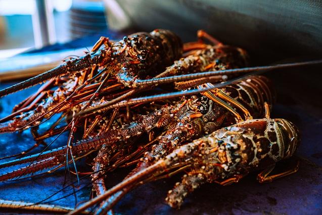 harga lobster, lobster