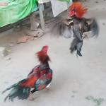 Cara Melatih Ayam Bangkok Agar Memiliki Pukulan Keras dan Akurat