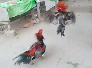 Cara Merawat Ayam Bangkok Usai Bertarung