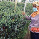 Petani Cabai di Mojokerto Terancam Merugi Karena Wabah Antraknosa