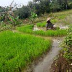 Pemerintah Pusat Pangkas Alokasi Pupuk Bersubsidi Jadi Penyebab Kelangkaan Pupuk di Mojokerto