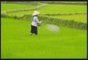 Kurangnya Pendampingan Petani Susun RDKK Berdampak Kelangkaan Pupuk, Petani Pertanyakan Kinerja Dinas Pertanian Setempat
